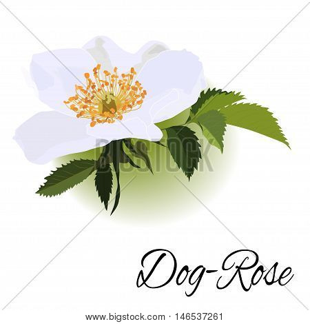 Hand-drawing realistic flower with green leaves dogrose