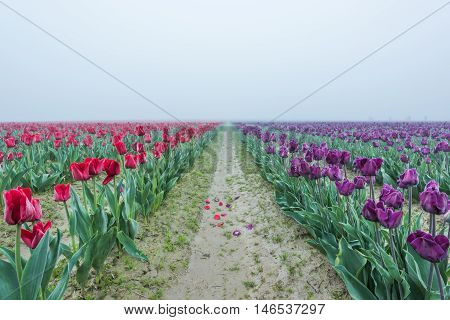 Red and purple tulip field rows with fallen petals in dirt road with vanishing point with misty foggy overcast sky