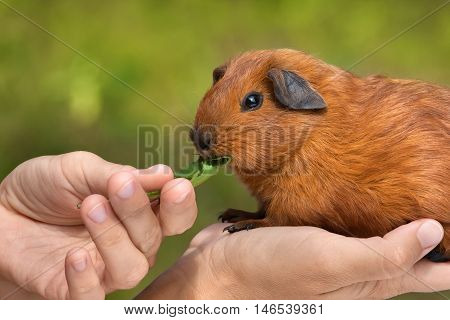 hands feeding young guinea pig on green blurred background