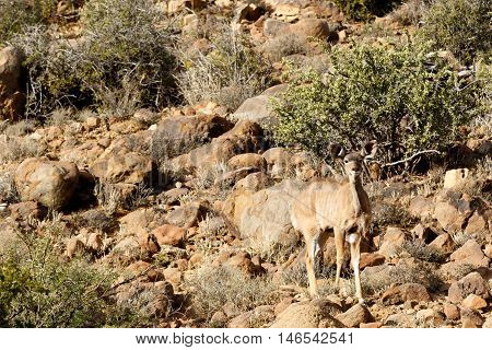 Female Kudu Looking -  Karoo National Park
