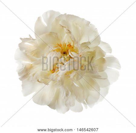 White peony flower isolated on white background