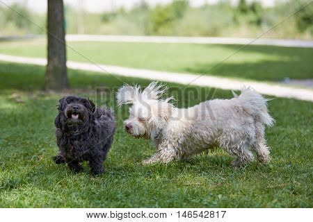 Two Havanese Dogs Playing In The Park