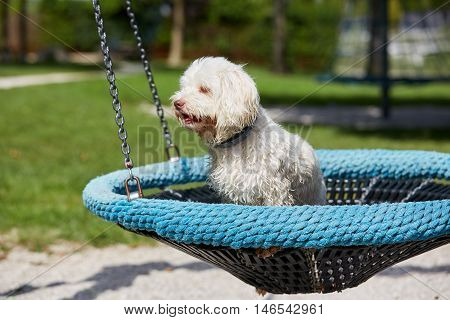 White Havanese Dog Sitting On A Childrens Swing On A Playground