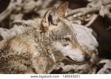 Portrait of the Grey Wolf (Canis Lupus)