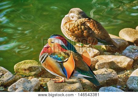Mandarin Ducks On Stones near the Pond