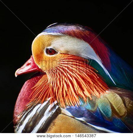 Portrait of Mandarin Duck over the Dark Background