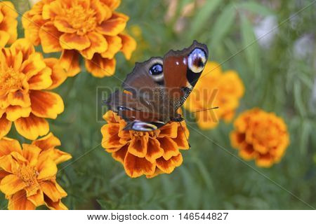 The butterfly sits on a flower. The butterfly is the representative of fauna of Europe. The Latin name - Inachis io. Beautiful insect
