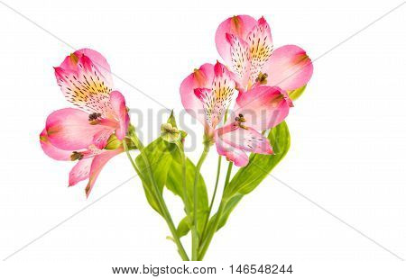 Alstroemeria pink flower on a white background