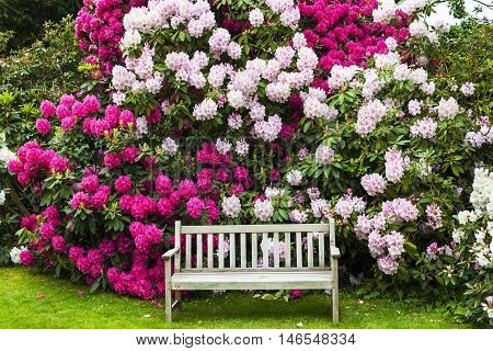 Rhododendron garden with an old wooden bench.