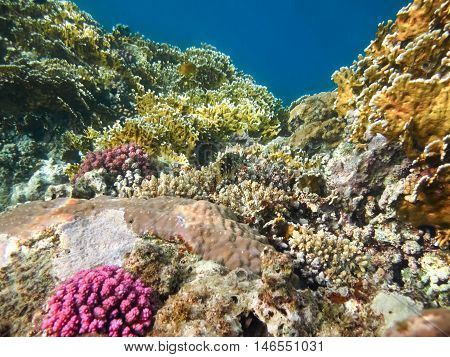 Colorful coral reef with hard corals at the bottom of tropical sea on blue water background.