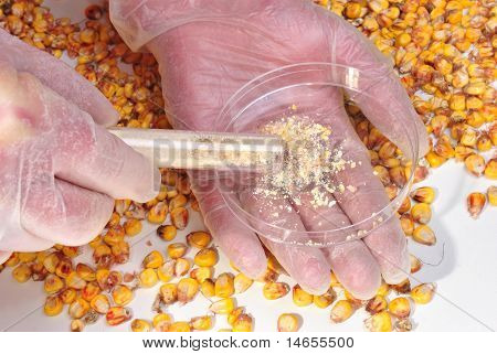 Corn And Corn Powder In A Test Tube