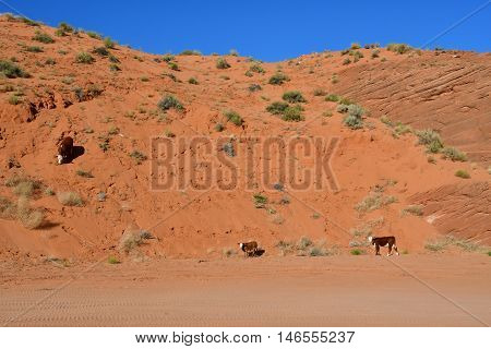 Page USA - july 9 2016 : cow in the desert near the Antelope Canyon