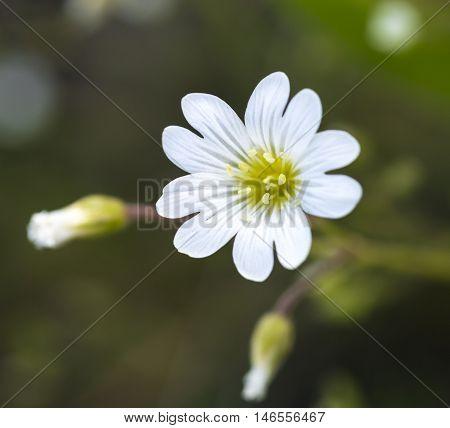 Macro of field mouse-ear, a wonderful wild little flower.