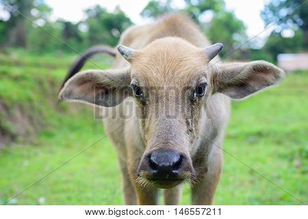 Young buffalo in the field of grass looking at Photographer with suspicion