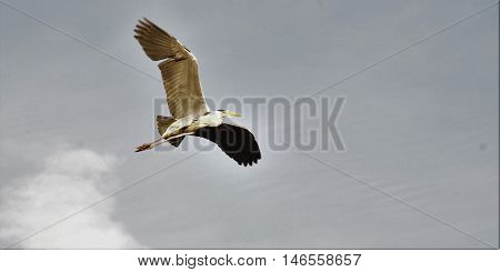 gray heron flies across the sky in the daytime