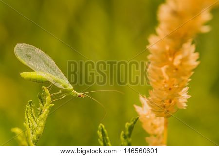 Macro of a green lacewing bug reaching for a blade of grass seed.