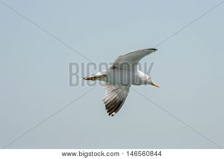 Seagull Flying Upon The Sea