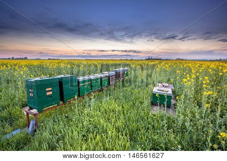 Row Of Beehives In A Rapeseed Field