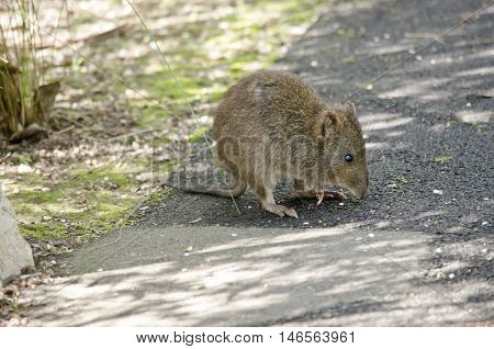 the long nosed potoroo is on a path way