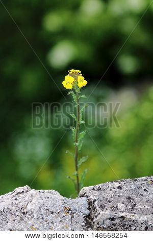 Yellow wild flower growing from the crack of a stone wall blooming beautifully