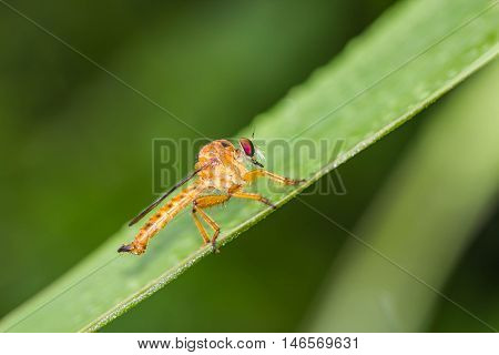 a cute robber fly on green leaf
