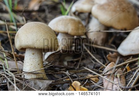 The White mushroom in the forest nature