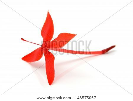 Closeup of blooming red ixora flower on a white background