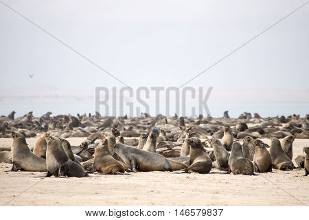 A Seals Colony At Pelican Point