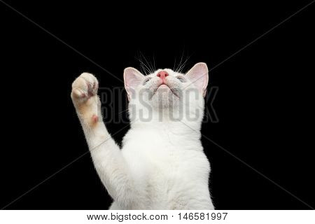Close-up Portrait of Playful Mekong Bobtail Cat with Blue eyes, Looking up and Raising up paw, want to Catch, Isolated Black Background, Color-point White Fur