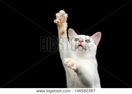 Close-up Portrait of Playful Mekong Bobtail Cat with Blue eyes, Raising up paws and shows claws, Isolated Black Background, Color-point White Fur