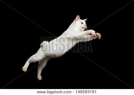 Cat of Breed Mekong Bobtail Attack Jumping in Action, Isolated Black Background, Color-point White Fur, Catching prey