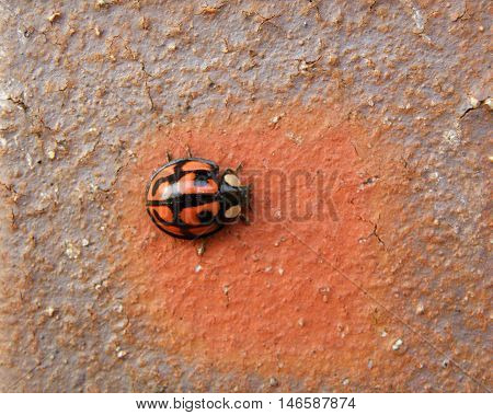 A Black dots Red Ladybug Climbing on the Brown and Orange stone Wall