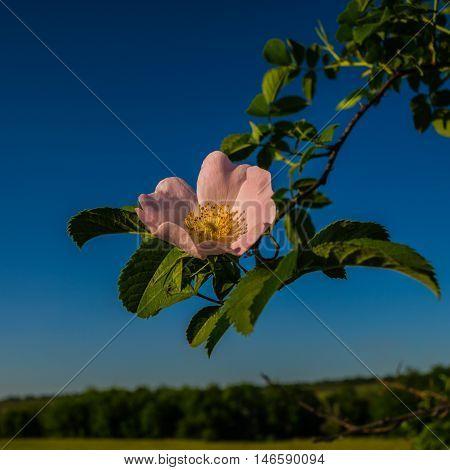 dog-rose flower on a background of blue sky