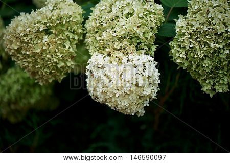 White hydrangea with a greenish tint on a branch with green leaves. Natural appearance in the Park