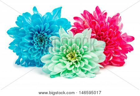 blue Chrysanthemum Flower Isolated over White Background