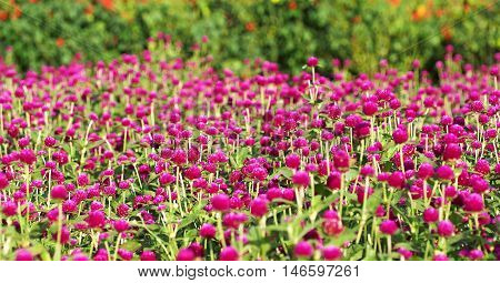 Globe amaranth on the hill side, select and soft focus