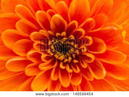 Beautiful orange chrysanthemum on a white background