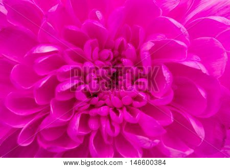 magenta chrysanthemum nature  flower on a white background