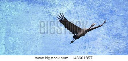 Panorama with elegant blue Crane in flight