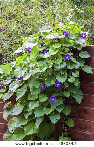 Morning Glory (Ipomoea) flowers twine upward wooden fence