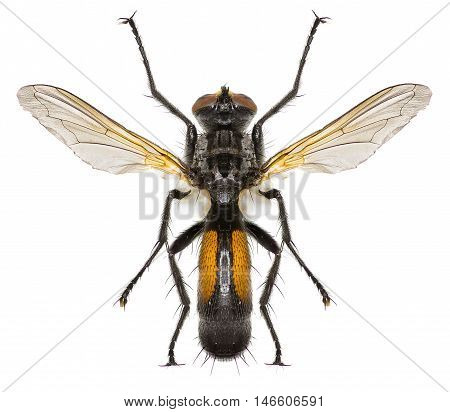 Tachinid Fly Cylindromyia on white Background  -  Cylindromyia auriceps (Meigen, 1838)