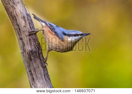 European Nuthatch Clinging