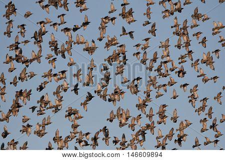 Common starlings (Sturnus vulgaris) in flight with blue skies in the background