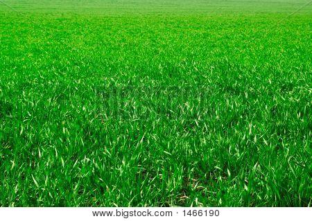 La hierba verde.