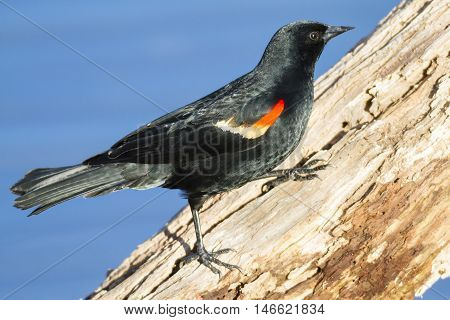 Red-winged Blackbird male on rotted tree branch