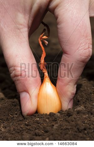 Onion set being planted