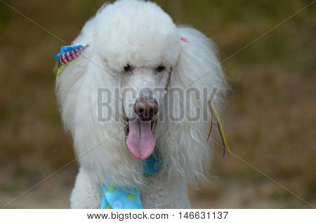 Pretty white standard poodle dog groomed with bows