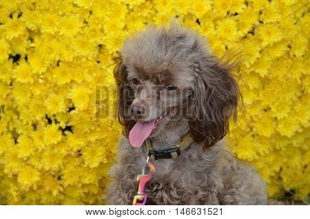 Brown poodle pup with yellow flowers in bloom