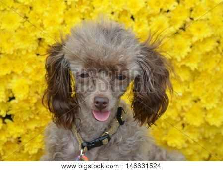 Adorable brown toy poodle dog with yellow flowers.