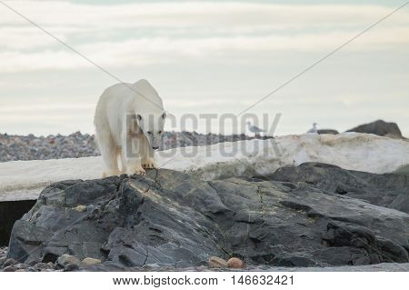 The polar bear (Ursus maritimus) is a carnivorous bear whose native range lies largely within the Arctic Circle